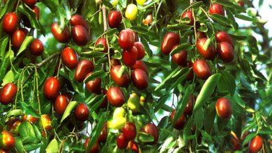 Photo of Красные финики, или «Молодильные яблоки»