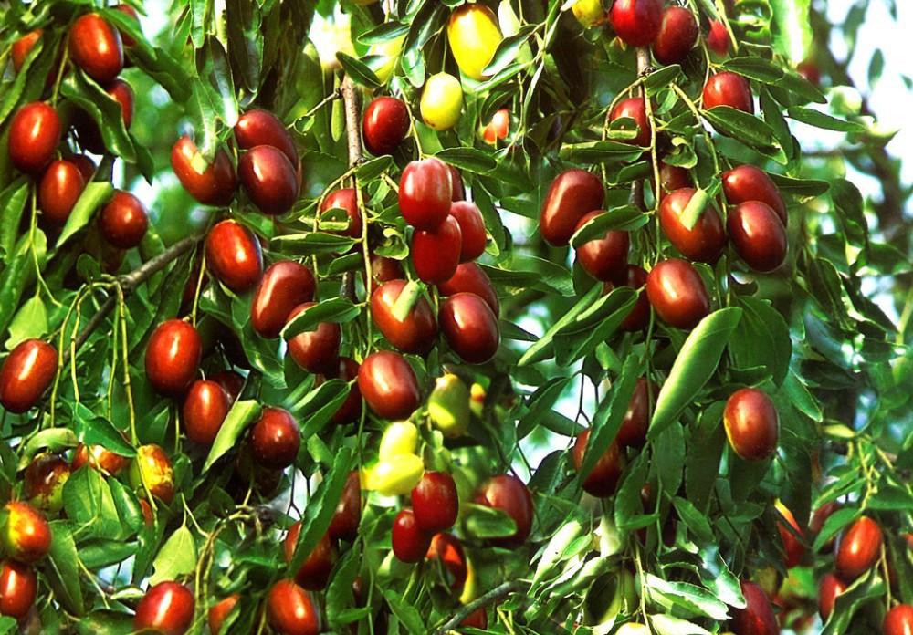 Красные финики, или «Молодильные яблоки»