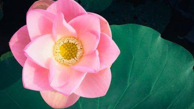 Лотос в буддизме: значение и символизм