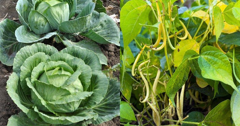 Помидоры ненавидят огурцы: растения-компаньоны на одной грядке