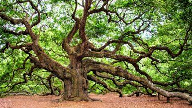 Дуб — дерево проводник, соединяет человека со вселенной