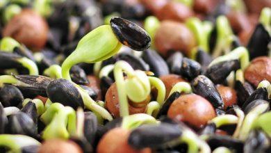 Чудесные свойства проросшего зерна